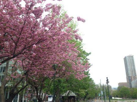 IMG_1392_2 札幌 八重桜.jpg