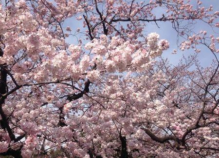 IMG_0920 上野公園 桜.jpg